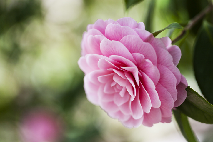 camellia flower conveys gratitude